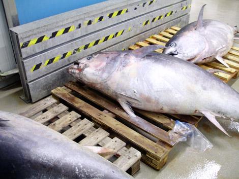 tonno-pescheria