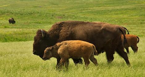 cibi-sostenibili-bisonte