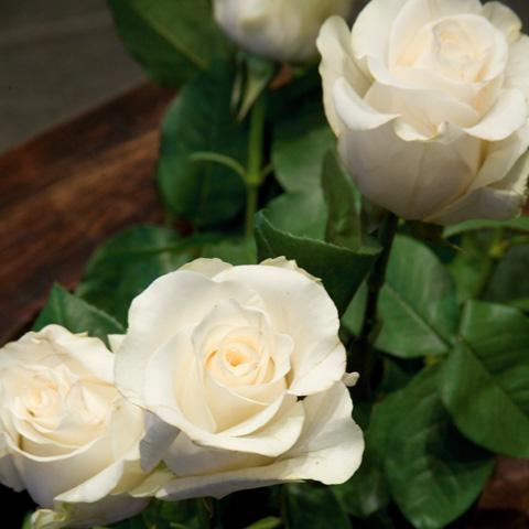 rosa-amelia