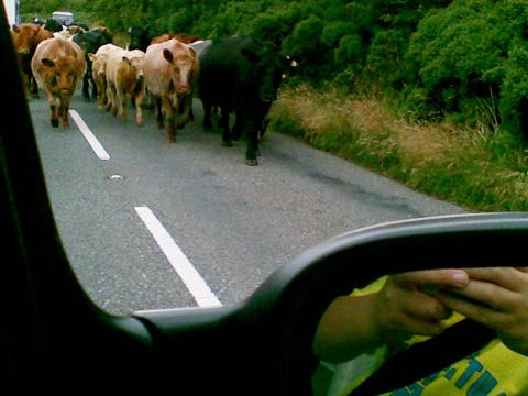 cornovaglia-mucche