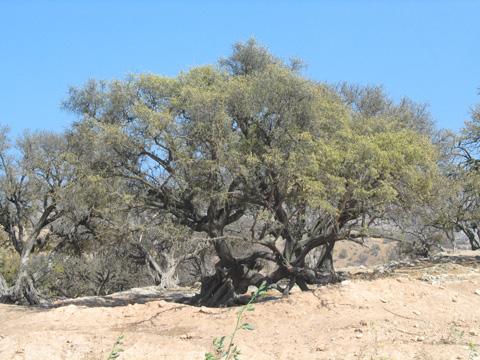 Essaouira_arganier_wikipedia