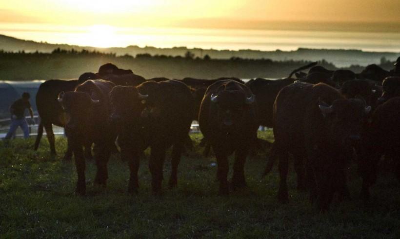 bufale-azienda-San-Salvatore