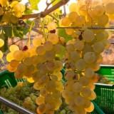 Tra Verdicchio e Vermentino quale vino bianco scegliere per Ferragosto
