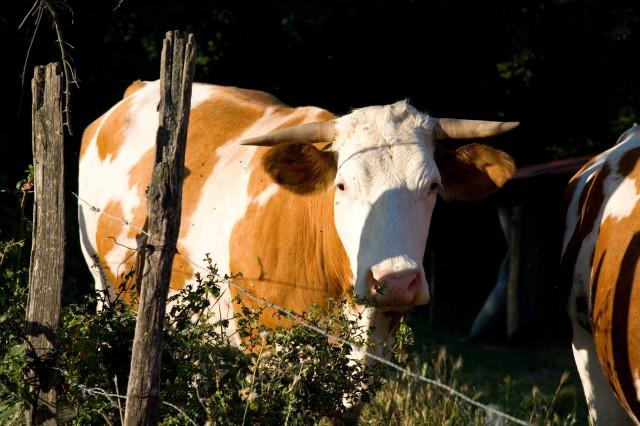 mucca-stato-brado