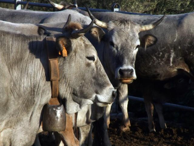 mucche-podoliche