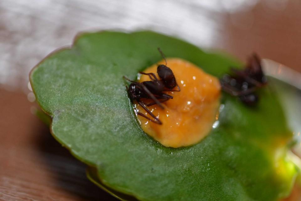 formiche Atala