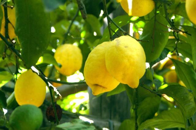 Limoni Alfonso Iaccarino