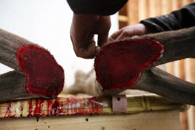 sangue renna