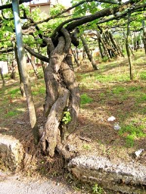 vite centenaria apicella costiera amalfitana