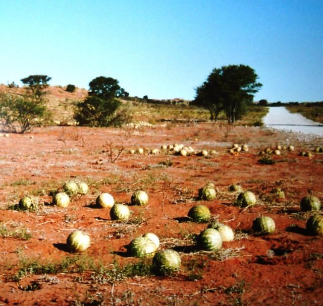 cocomero del Kalahari