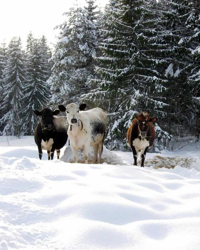 capre della Norvegia
