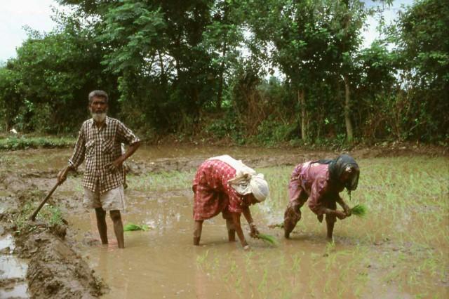 riso raccolta India