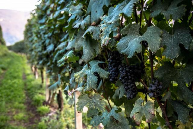 Montalcino viti