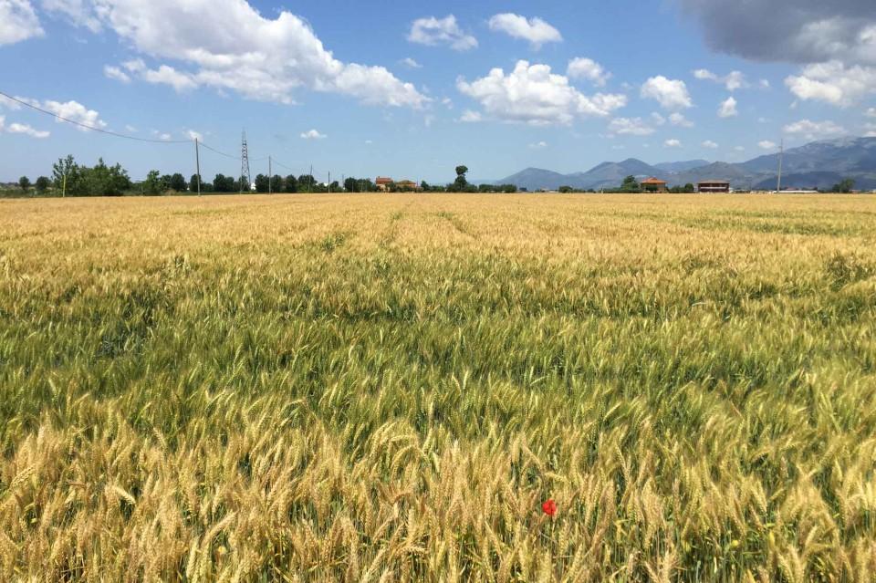 campo di grano Caputo