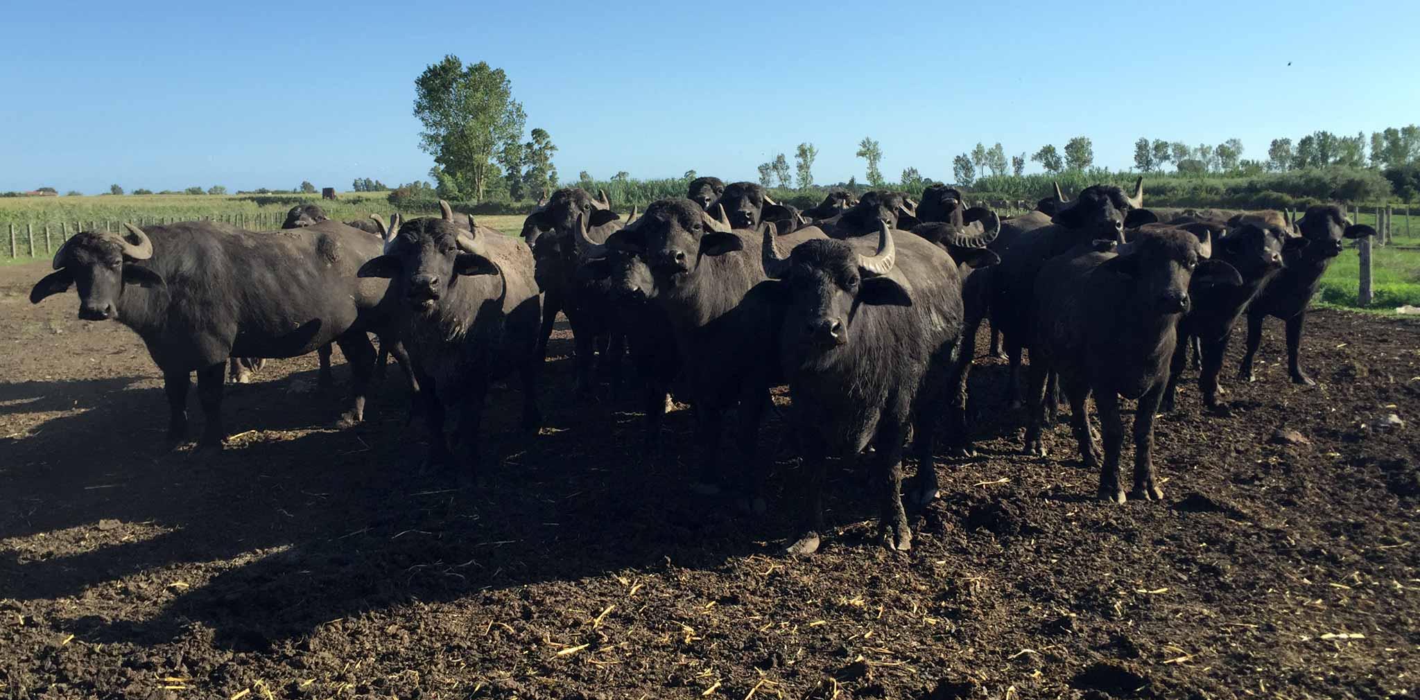 mozzarella di bufala e bufale