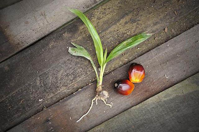 olio di palma e frutti