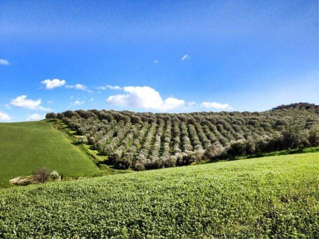 Olivi Calabria