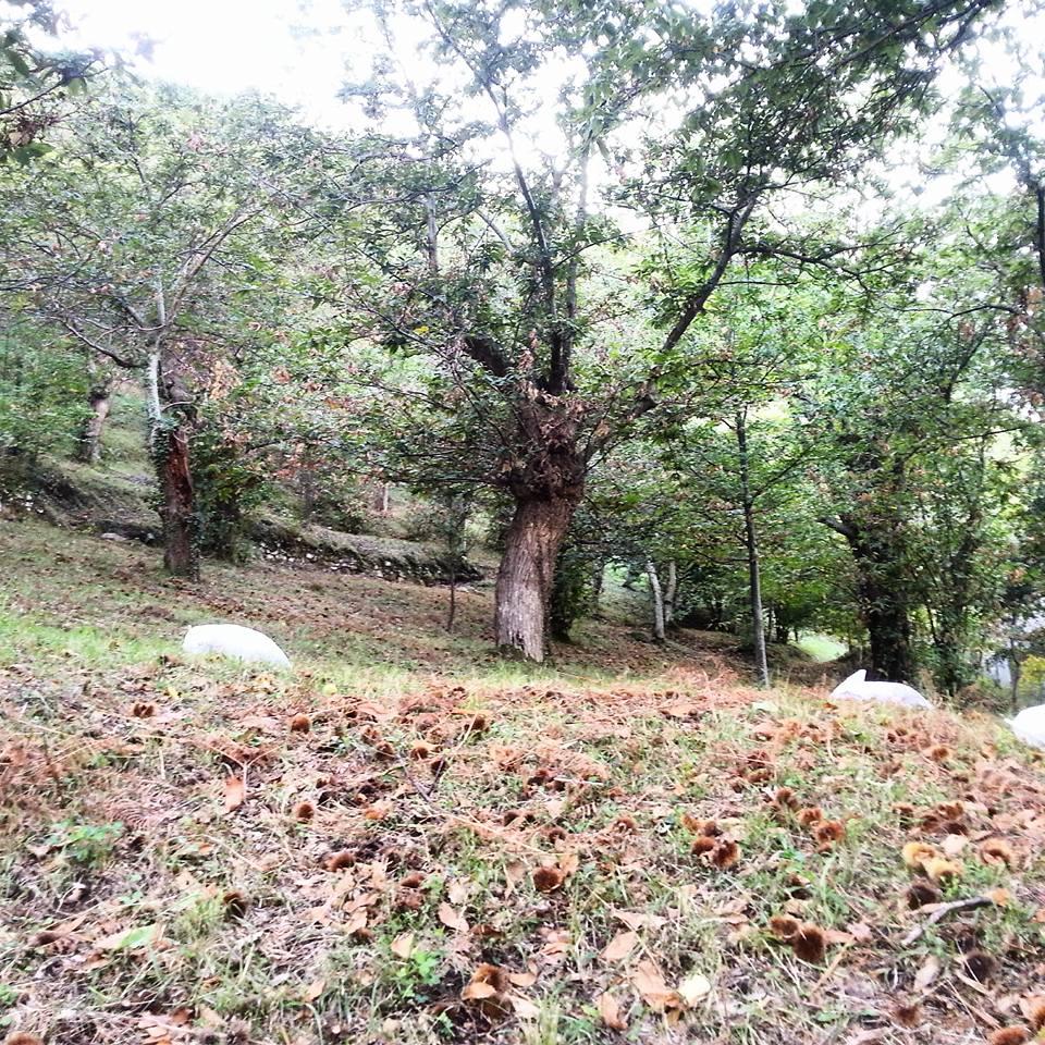 marrone di Roccadaspide bosco di Castagni