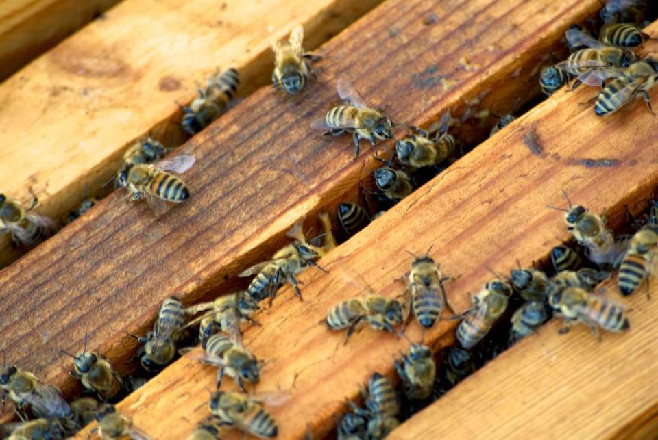 telaio api serifos