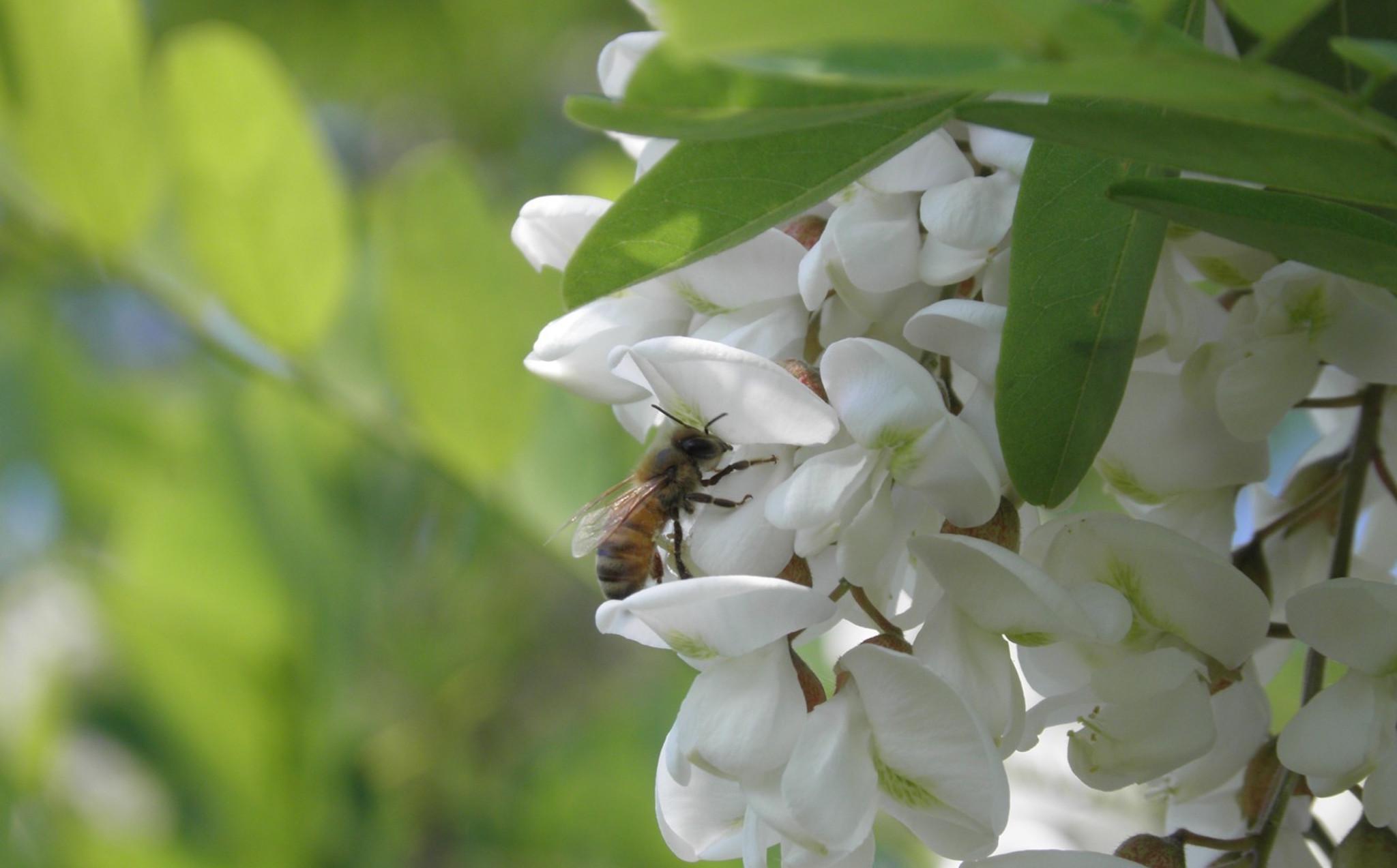 Ape su fiori di acacia