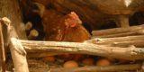 Emergenza fipronil: scattano i controlli in Italia per uova, carne di pollo, maionese, pasta fresca