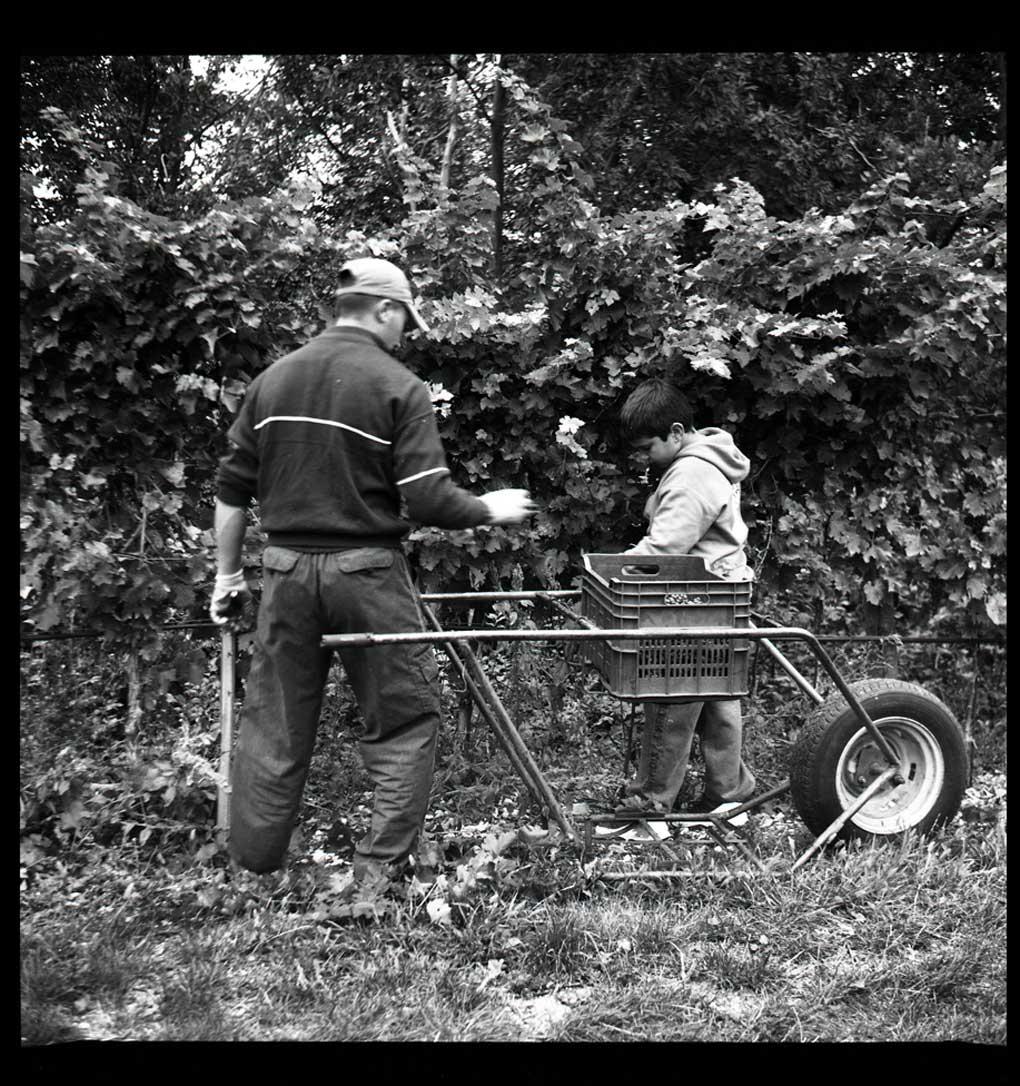 raccolta uva Valpolicella