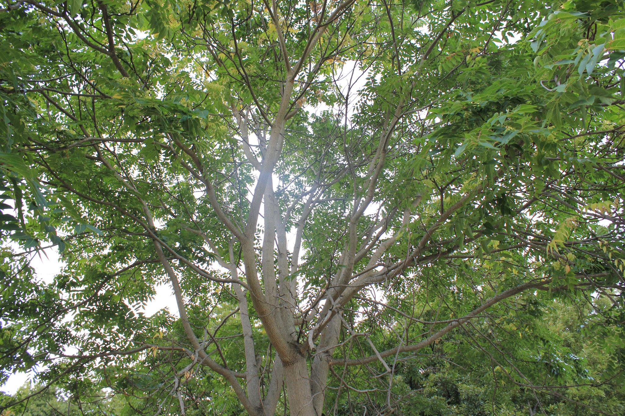 albero ailanto