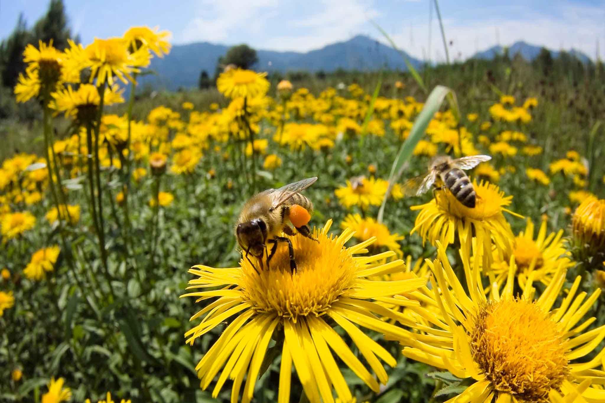 api polline