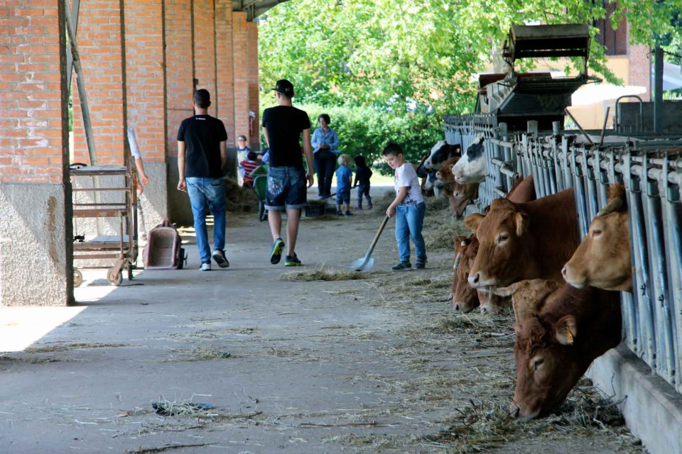 mucche limousine
