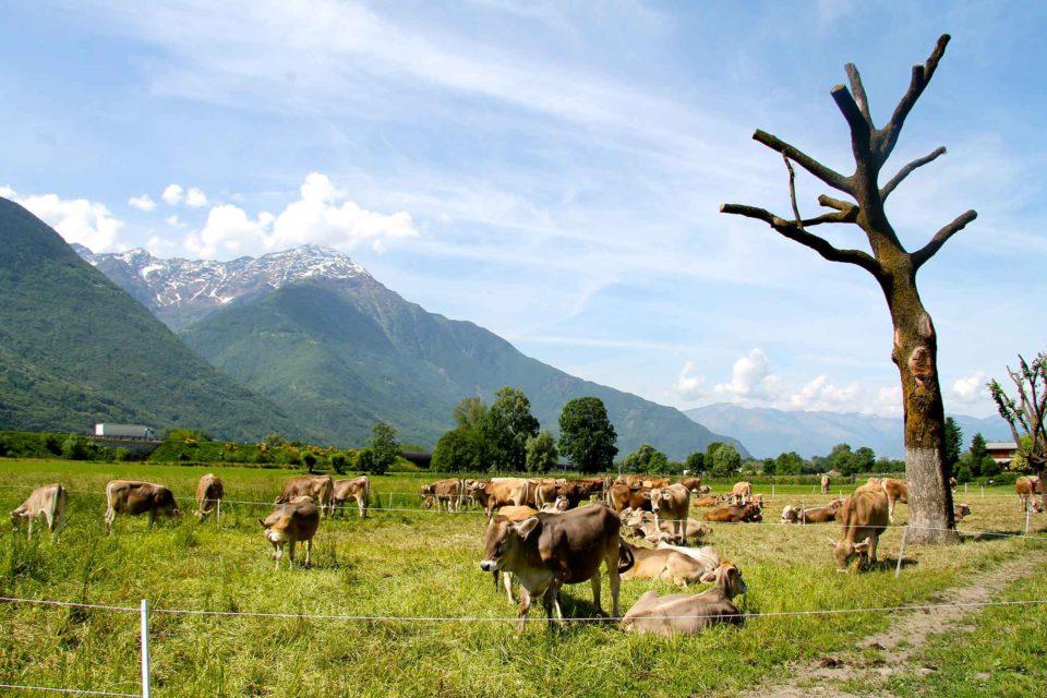 mucche valtellina