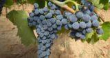 Il Consorzio Vini Maremma Toscana vuole modificare il disciplinare