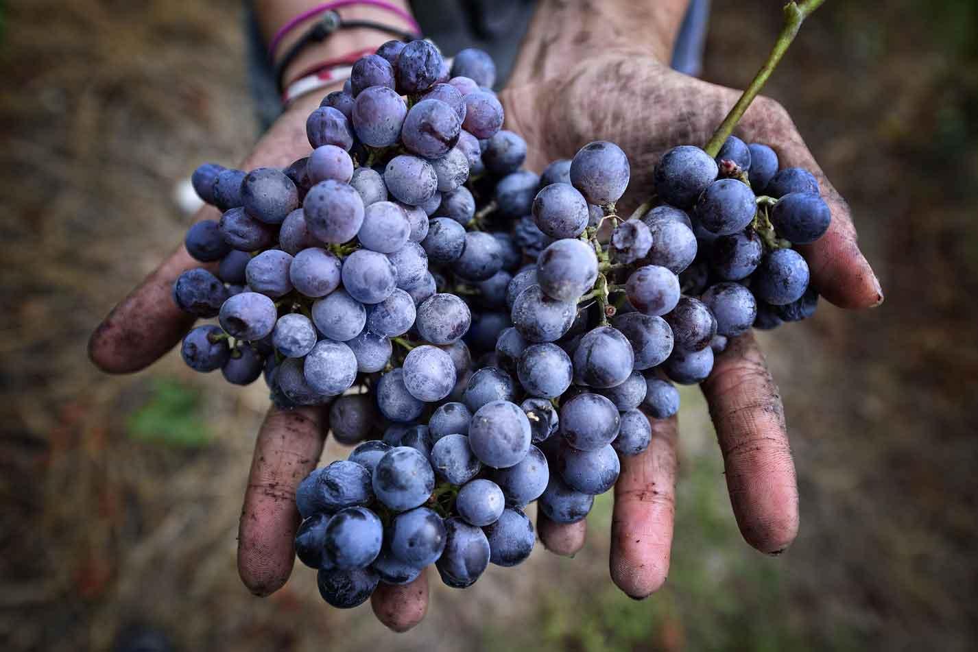 freisa di Chieri vitigno uva