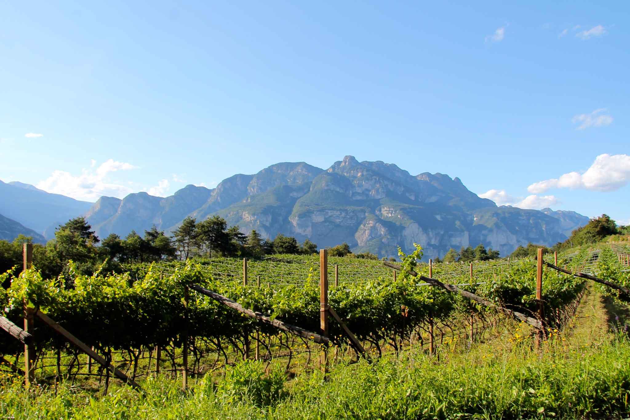 Trentino vigne