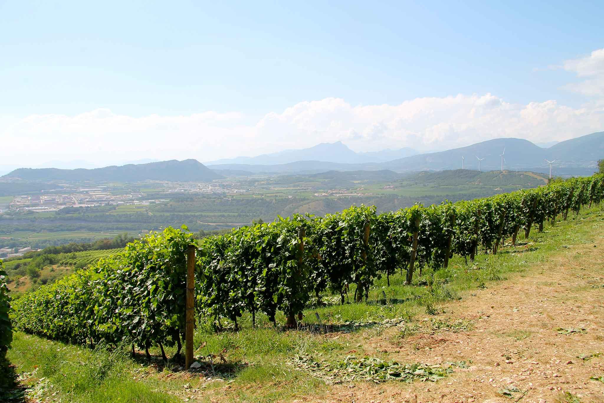 filari uva zenato