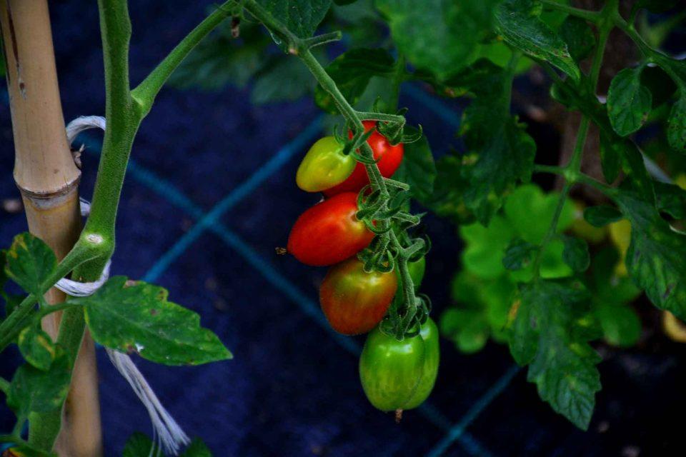 pomodori datterini virginio rota val taleggio