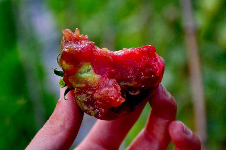 pomodoro nero di crimea virginio rota