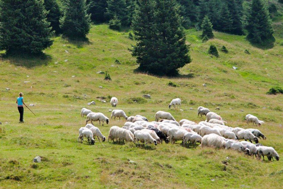 romania pecore