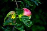 Val Taleggio. Virginio Rota coltiva frutta e verdura dal sapore perduto