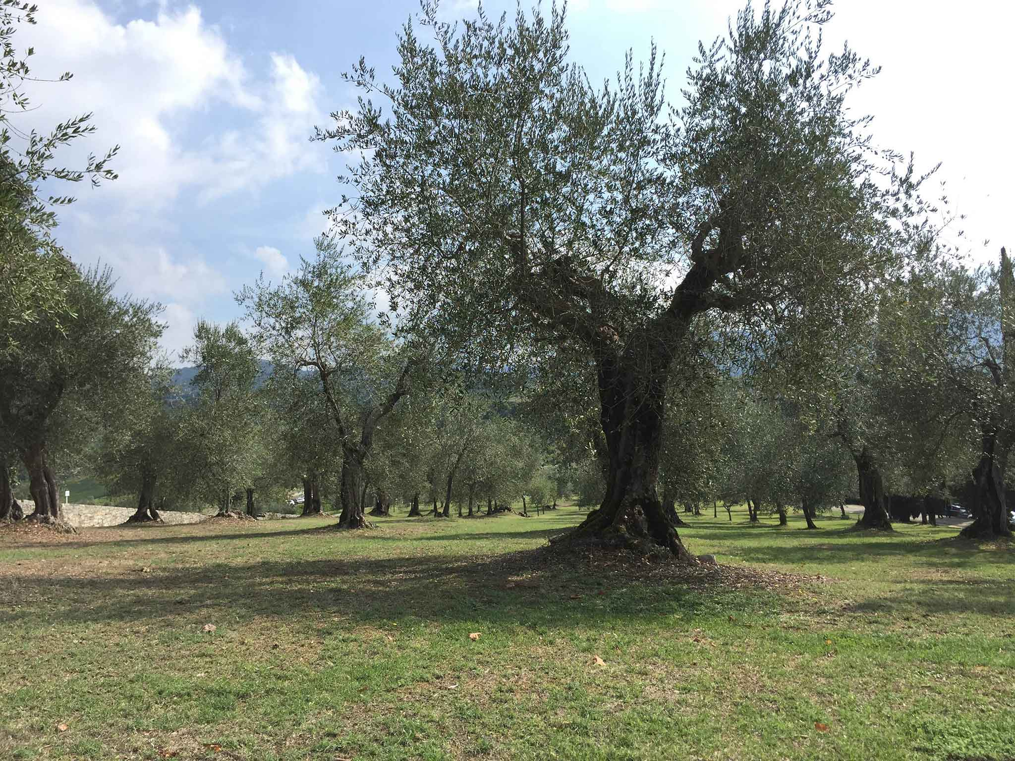 alberi-frescobaldi-tenuta