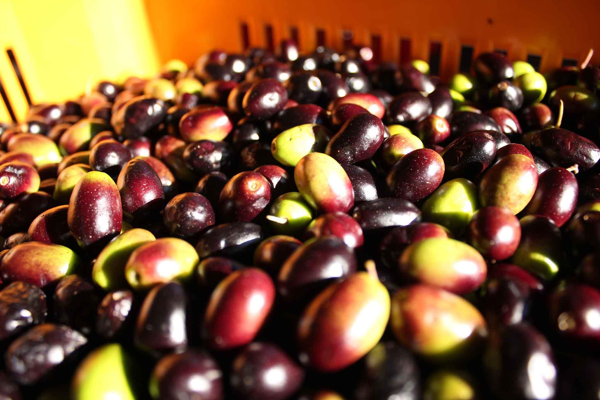 olive-taggiasche-in-cassetta