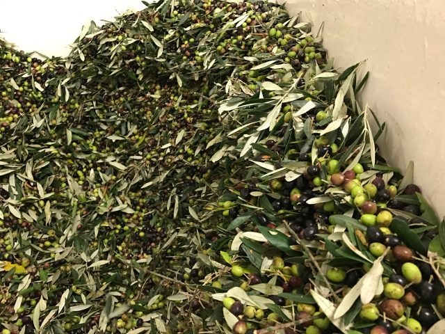 olio-olive-fattoria-maiano