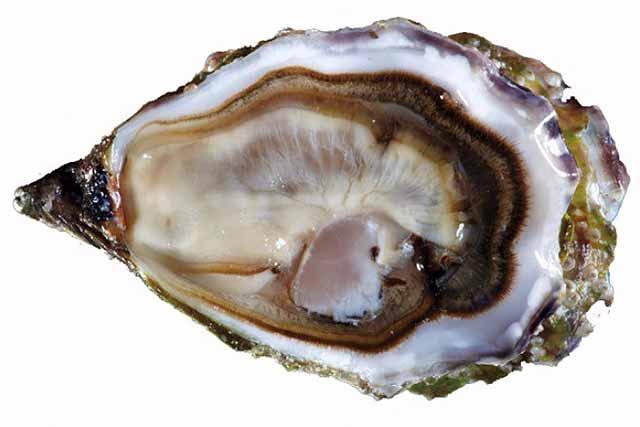 ostriche-ostra-regal