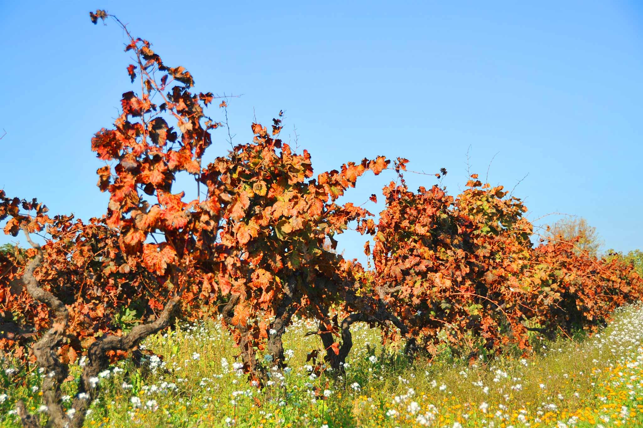 puglia-vigne