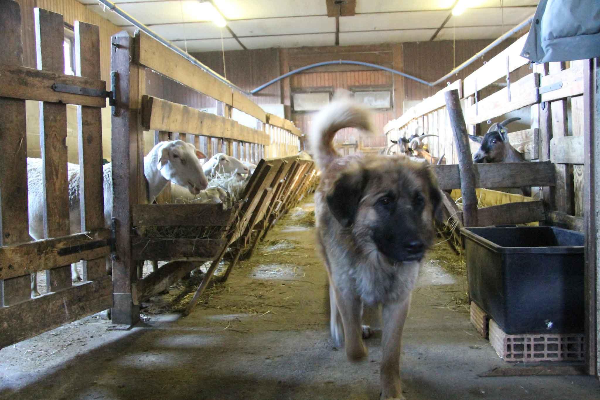 capre in valle d'aosta
