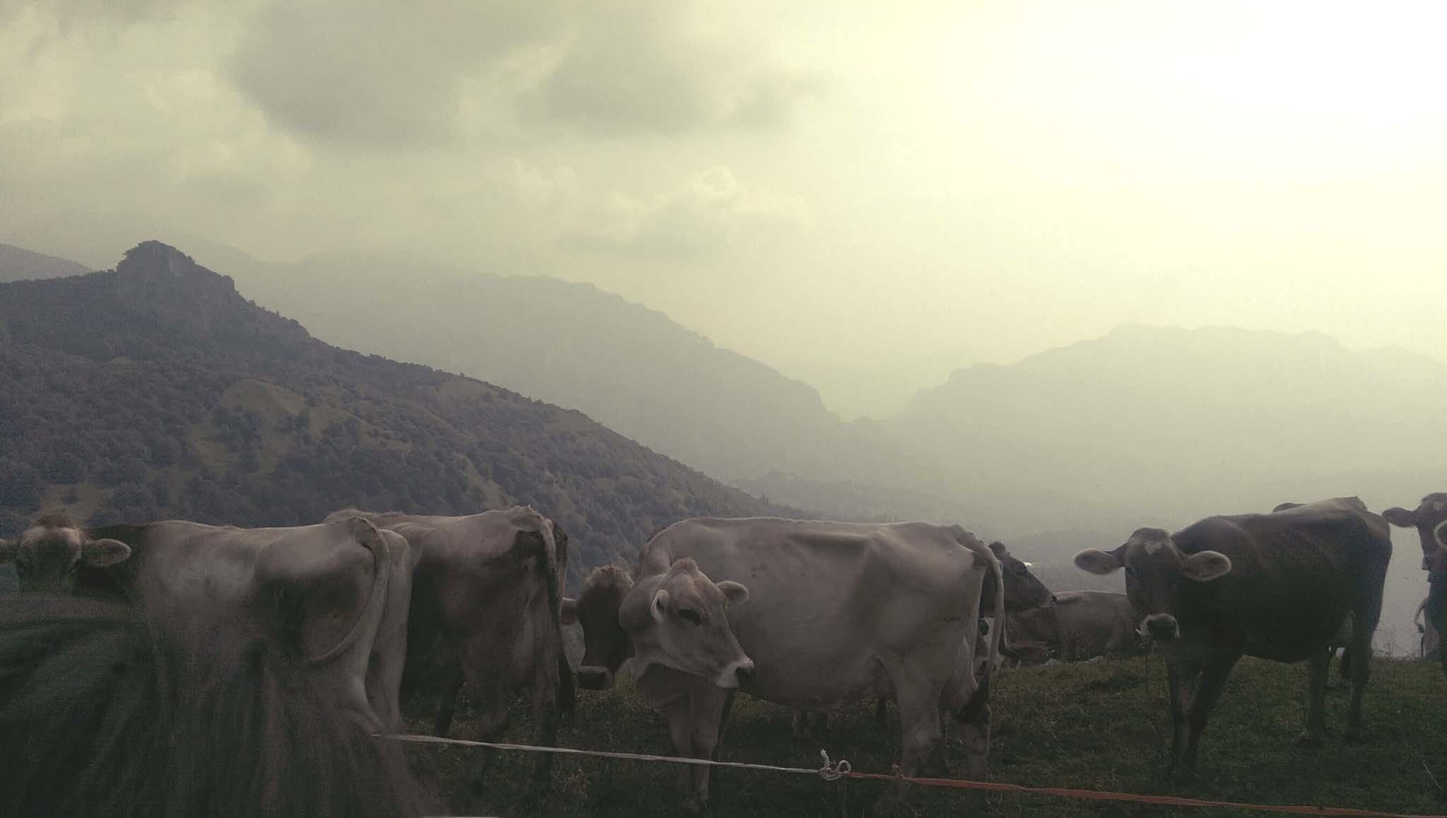 valli-orobie-mucche