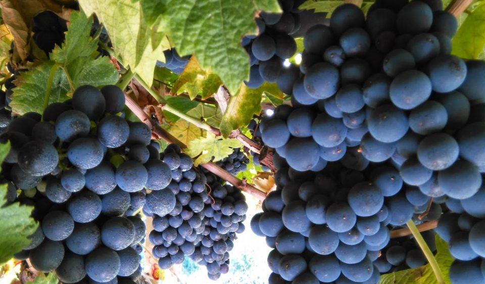 uva tintilia
