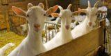 Bergamo. Le capre di Leidi Battista per un formaggio che vi stupirà
