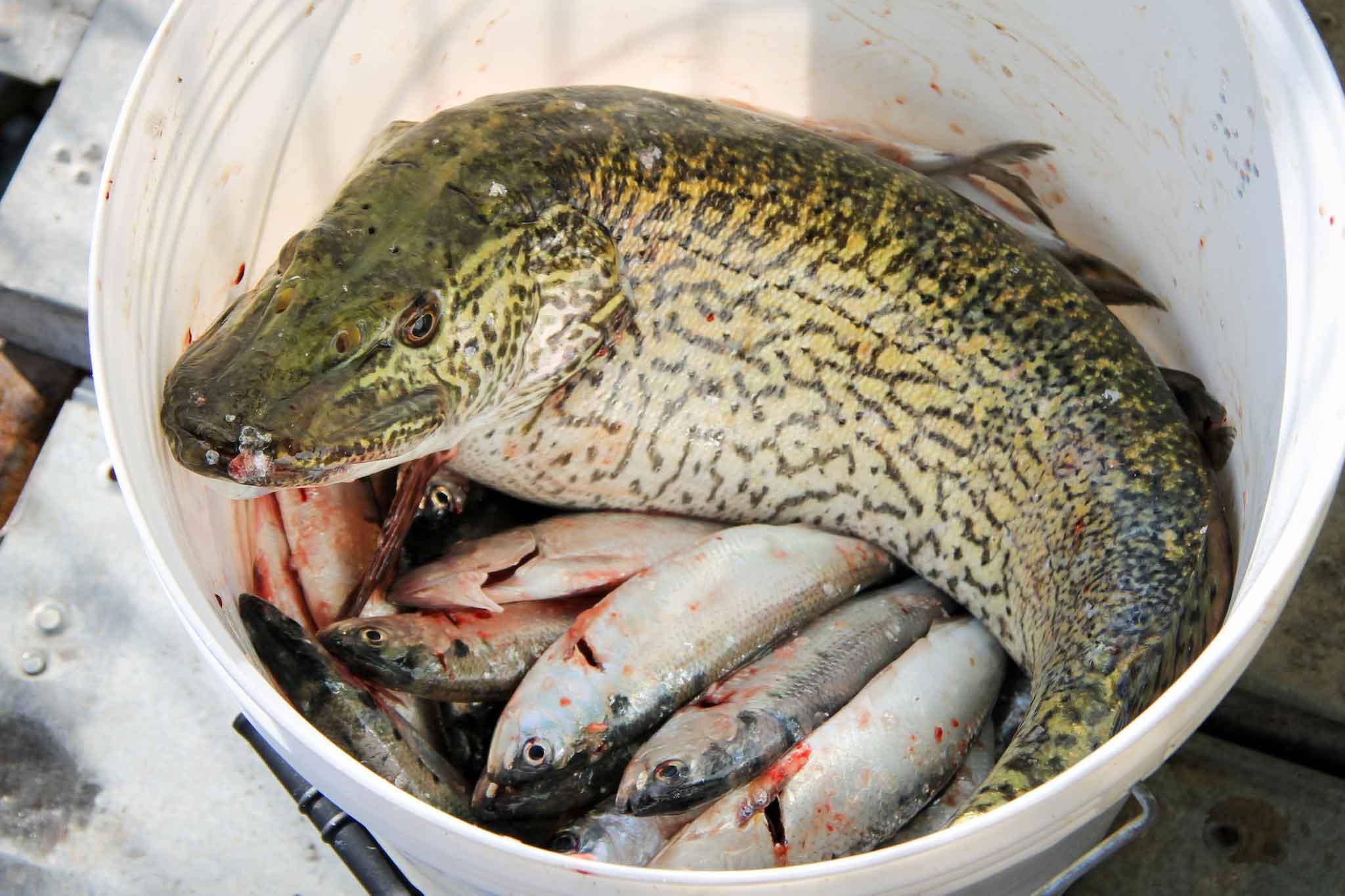 Lago d 39 iseo dove mangiare o comprare i pesci per la for Comprare pesci online