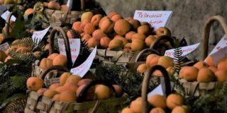 Video. L'Albicocca del Vesuvio, o crisommola, diventa Presidio Slow Food