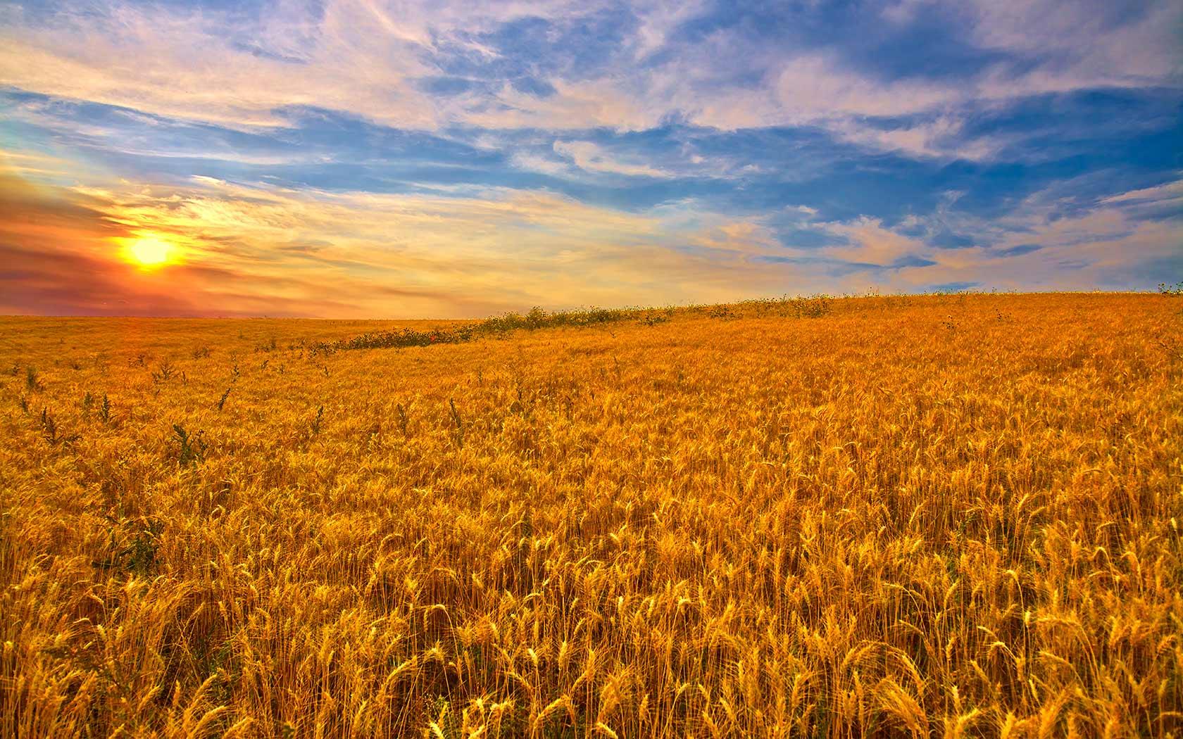 Ricette di cosa parliamo quando usiamo grano e farina for Da dove proviene il grano della barilla